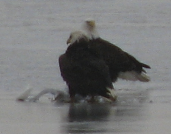 eagle_monday_2-16-15_chesapeake_bay_ice.
